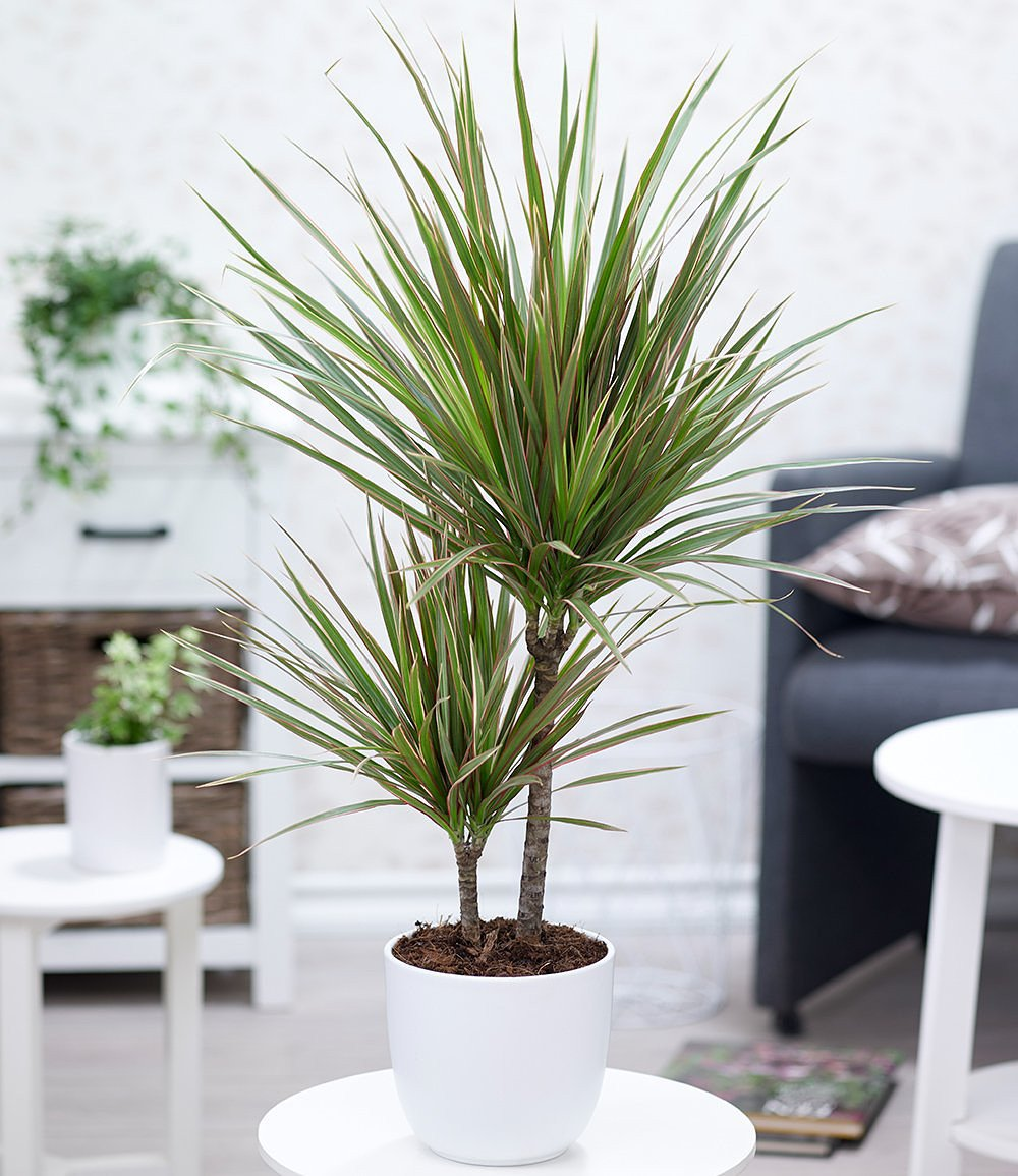 dracaena marginata bicolor ca 70 cm hoch 1 pflanze g nstig online kaufen mein sch ner. Black Bedroom Furniture Sets. Home Design Ideas