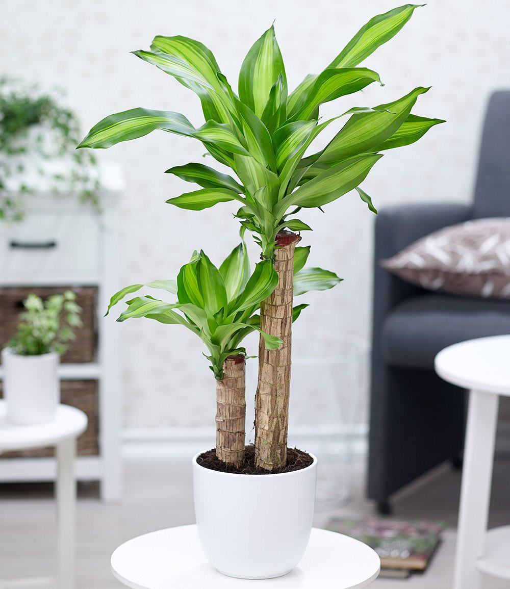 dracaena massangeana 1 pflanze g nstig online kaufen mein sch ner garten shop. Black Bedroom Furniture Sets. Home Design Ideas