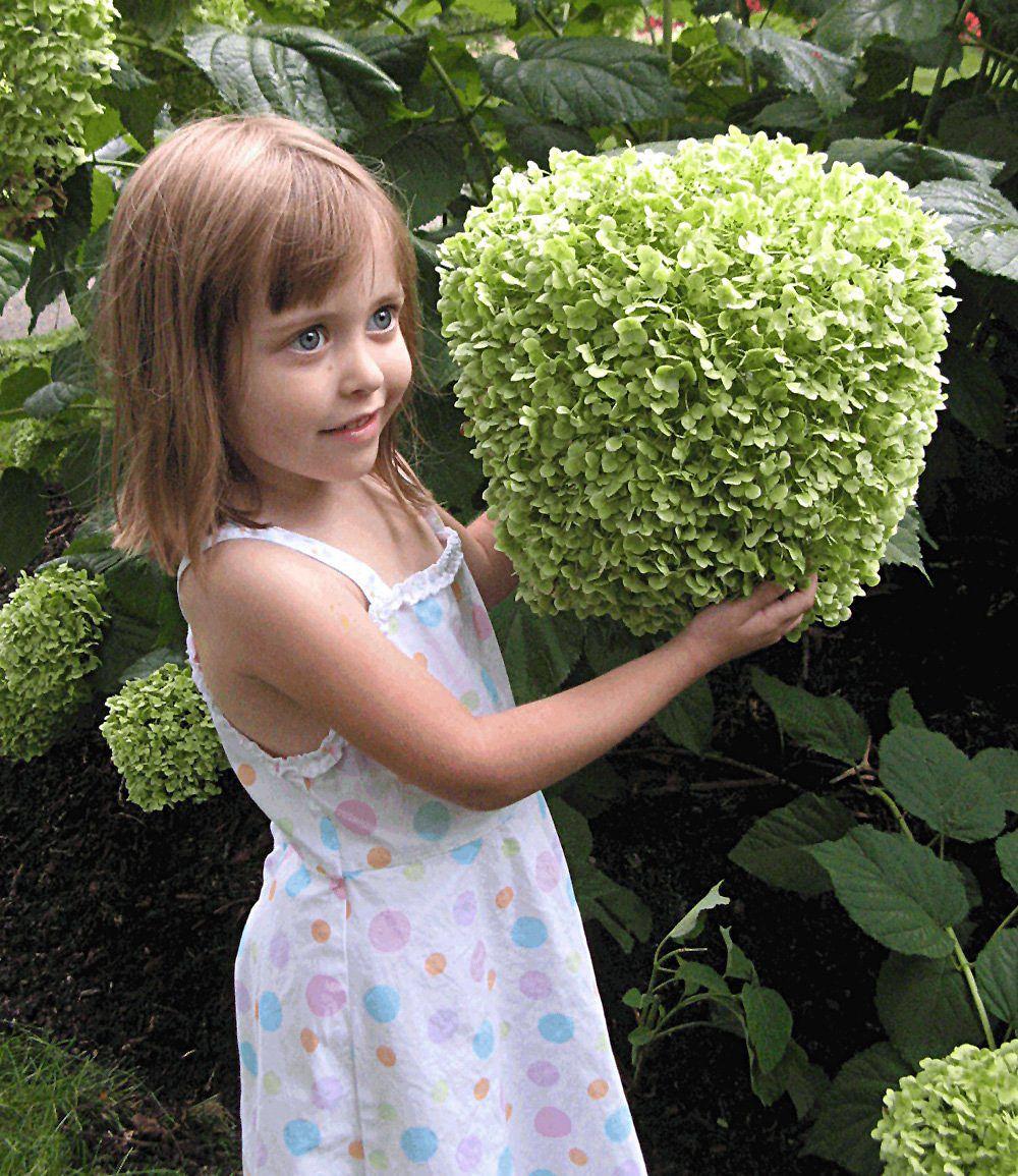 """Freiland-Hortensie """"Incrediball®"""",1 Pflanze Günstig Online"""
