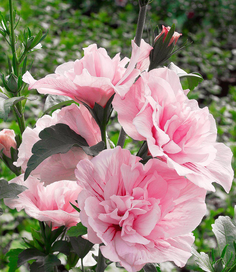 """Gefüllter Hibiskus """"Chiffon """" pink 1 Pflanze günstig online kaufen"""