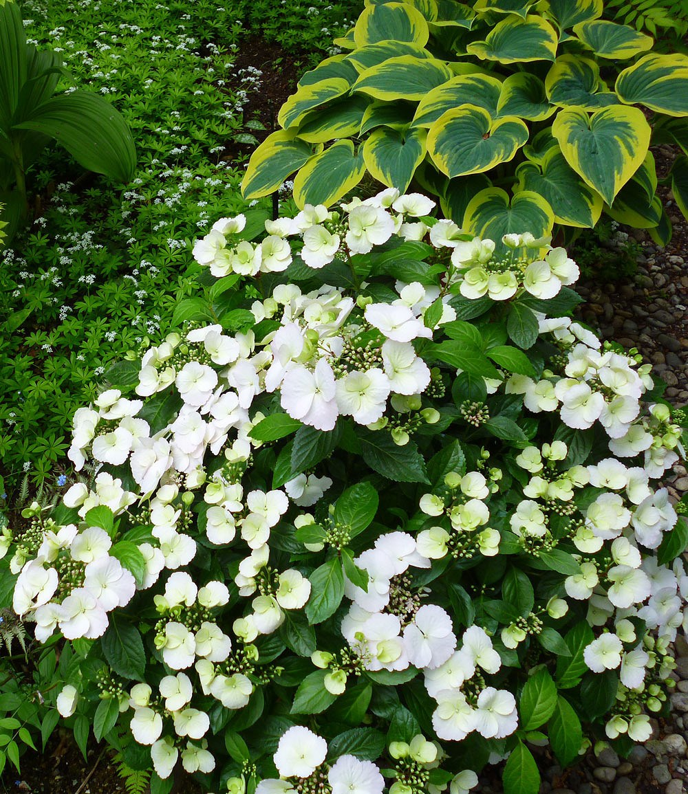 """Girlanden-Hortensie """"Runaway Bride®"""",1 Pflanze Günstig"""