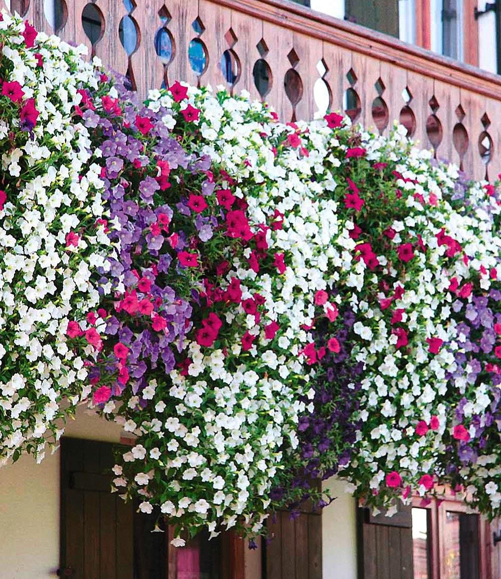 Hange Petunien Alpetunia Kollektion 9 Pflanzen Petunia Gunstig