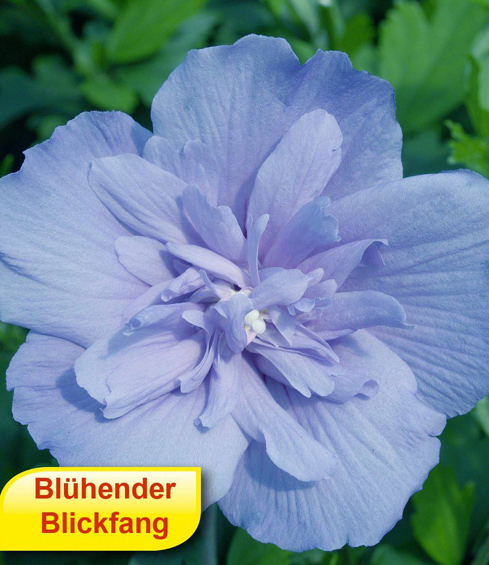 Hibiskus Chiffon Kollektion 3 Pflanzen günstig online kaufen