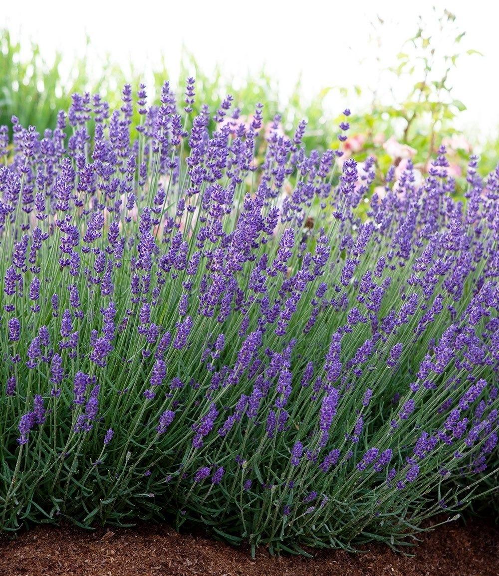 """Lavendel /""""Blue Jeans/"""",3 Pflanzen"""