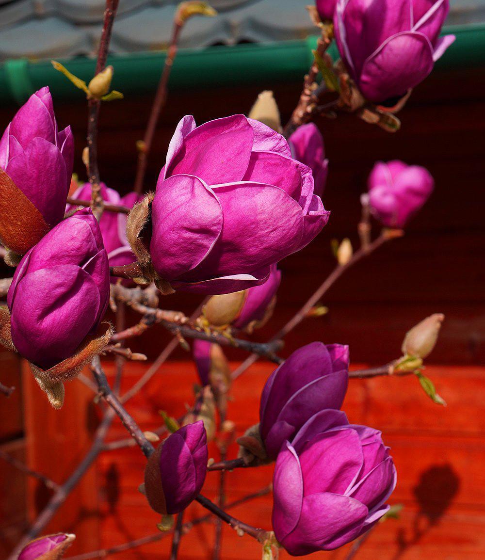 magnolie genie 1 pflanze g nstig online kaufen mein. Black Bedroom Furniture Sets. Home Design Ideas
