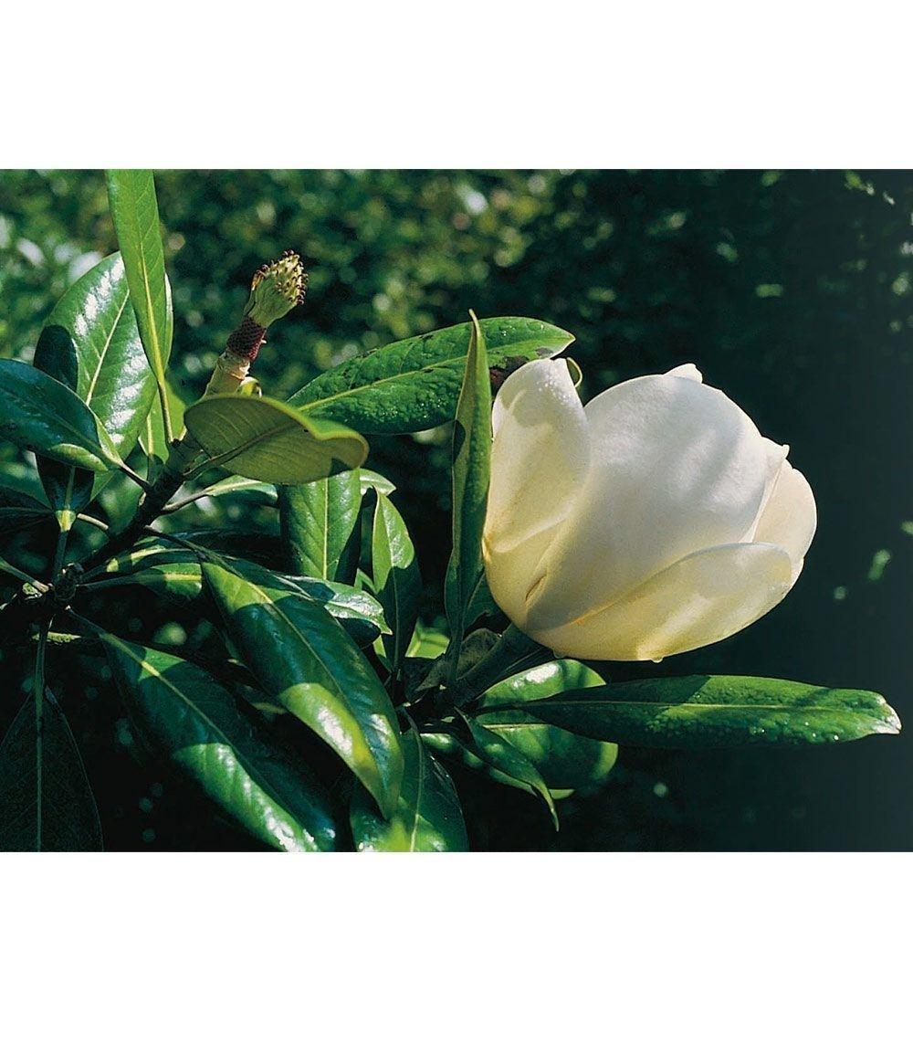 """Magnolie """"Jade Lamp"""",1 Pflanze Günstig Online Kaufen"""
