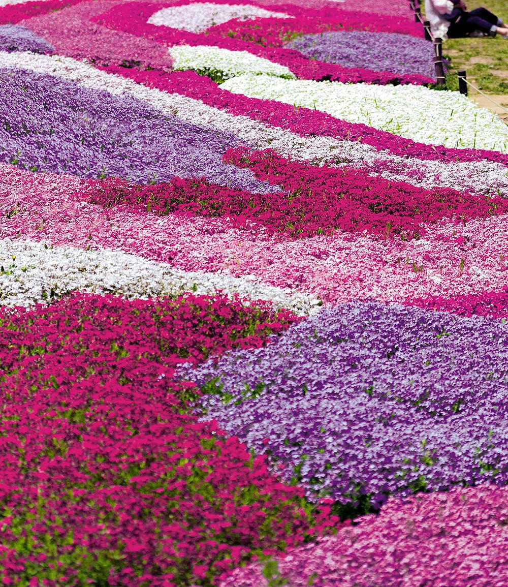 Phlox mix flowers of the sea 4 pflanzen g nstig online for Garten pflanzen shop