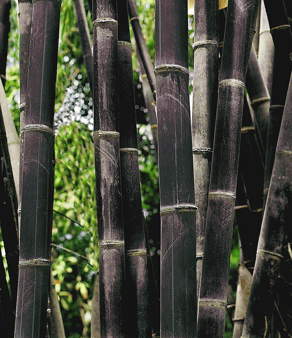 Schwarzer Bambus Black Pearl 1 Pflanze Gunstig Online Kaufen