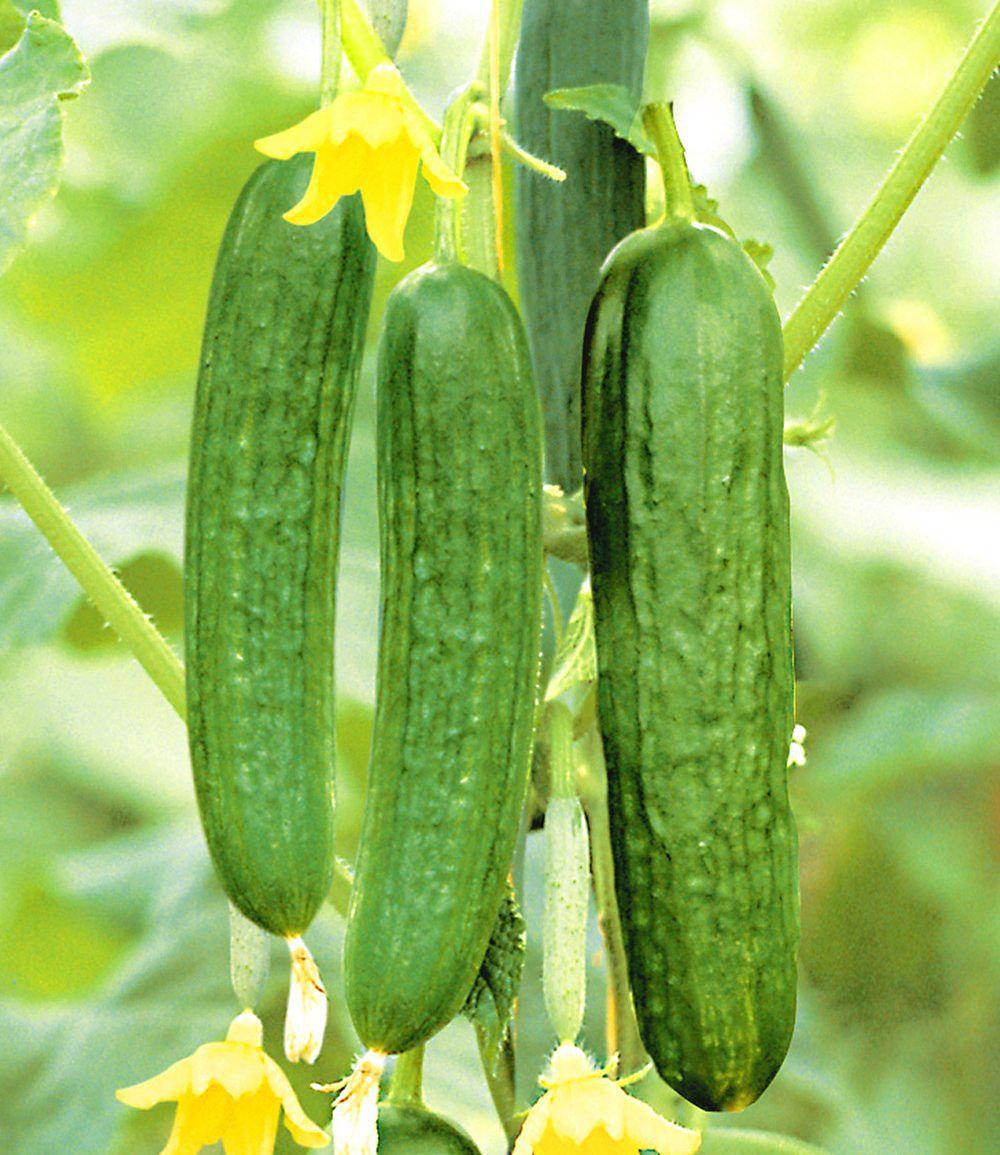 """Veredelte Snack-Gurke """"Minik""""F1,2 Pflanzen Gurkenpflanze"""