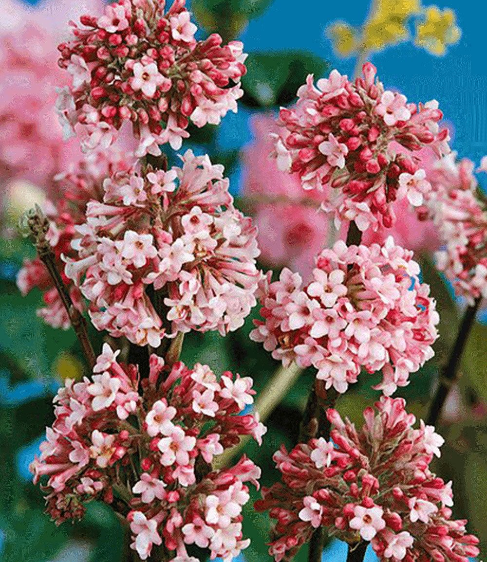 "winter-schneeball ""charles lamont"",1 pflanze günstig online kaufen, Gartengerate ideen"