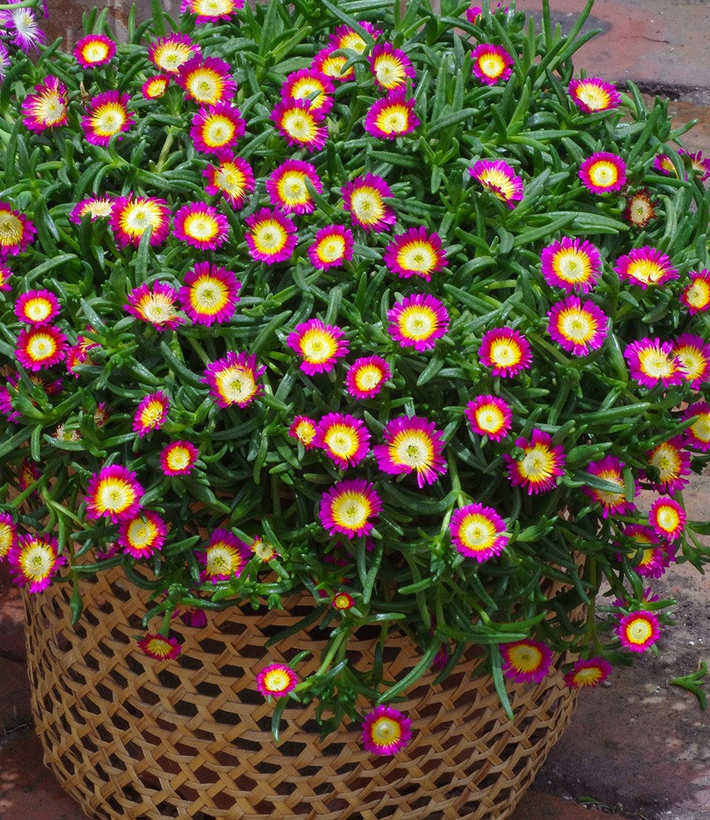 winterharte eisblume hot pink wonder 3 pflanzen g nstig. Black Bedroom Furniture Sets. Home Design Ideas