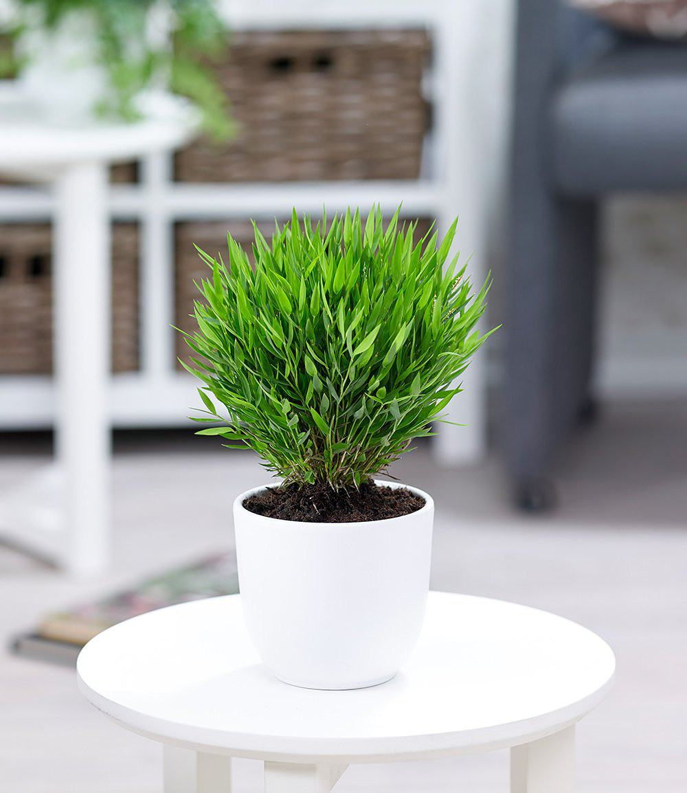 zimmerbambus 1 pflanze g nstig online kaufen mein sch ner garten shop. Black Bedroom Furniture Sets. Home Design Ideas