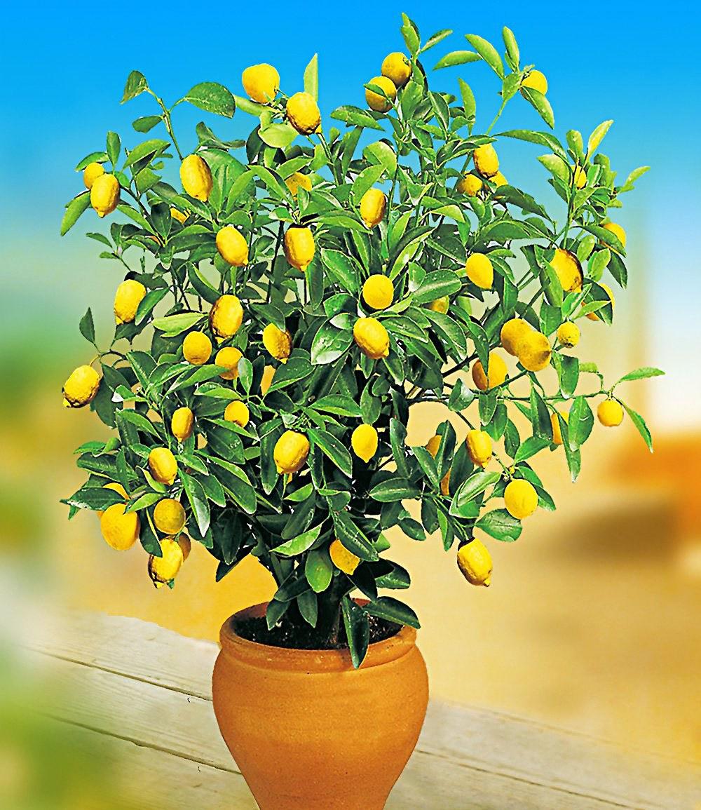 zitronen orangenbaum 2 pflanzen g nstig online kaufen mein sch ner garten shop. Black Bedroom Furniture Sets. Home Design Ideas