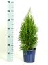 Abendländischer Lebensbaum Smaragd', ca. 55-60 cm hoch (2)