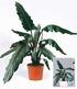 Alocasia Lauterbachiana,1 Pflanze (2)