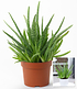 Aloe Vera ,1 Pflanze (2)