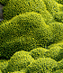 "Andenpolster ""Azorella"",2 Pflanzen (2)"