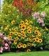 Balkon-Sonnenblume SunBelievable®,1 Pflanze (2)