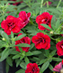 "Balkon-Zauberglöckchen ""Uno Double Red"",3 Pflanzen (2)"