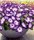 """Bienen-Petunie """"Purple Storm"""",3 Pflanzen (2)"""