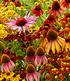 Bienenfreundlich Indian Summer Mix, 5 Knollen (2)