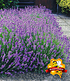 Blauer Duft-Lavendel 25 Stk.,25 Pflanzen (2)