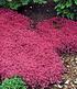 Bodendecker-Thymian 25 Stk.,25 Pflanzen (2)