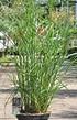 Chinaschilf (Ferner Osten) 12 Liter - Miscanthus sinensis (2)