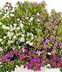 """Cuphea-Mix """"Nektarquelle"""", 3 Pflanzen (2)"""