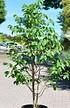 Dreilappige Papau (Indianerbanane) - Asimina triloba (2)