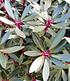 """Drimys """"Red Spice"""",1 Pflanze (2)"""