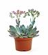 Echeveria Cheyenne,1Pflanze (2)