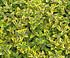 Euonymus fortunei 'Emerald Gold' - Zwergspindelstrauch (2)
