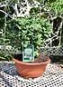 Ginkgo (Fächerblattbaum, Mädchenhaarbaum) (2)