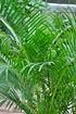 Goldfruchtpalme - Areca (2)