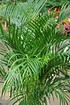 Goldfruchtpalme - Areca - Dypsis lutescens (2)