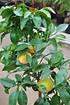 Grapefruitbaum (Pampelmuse, Pomelo) (2)