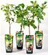 """Guaran Trees® Apfel """"Elstar"""",1Pflanze (2)"""