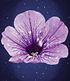 """Hänge-Petunie Hellviolette """"LavenderSKY®"""",3 Pflanzen (2)"""