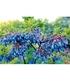 "Heidelbeere ""Blautropf®"",1 Pflanze (2)"