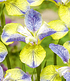 """Iris """"Tipped in Blue"""",1 Knolle (2)"""