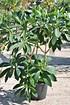 Japanischer Papierbusch - Edgeworthia chrysantha Grandiflora (2)