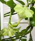 Kletternde Leuchterblume,1 Pflanze (2)