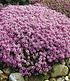 Langhaariger Gebirgs-Thymian 25 Stk.,25Pflanzen (2)