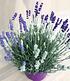 "Lavendel-Trio ""Bee Zee"",1 Pflanze (2)"