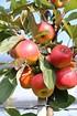 Lubera Apfel Paradis® Der verbotene Apfel (2)