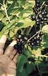 Lubera Johannisbeere Cassissima®Neva® (2)