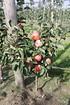 Lubera Mini-Apfelbäumchen Maloni® Sally® (2)