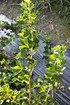 Lubera Stachelbeere Easycrisp® Lady Sun (dornenlos) (2)