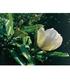 "Magnolie ""Jade Lamp"",1 Pflanze (2)"